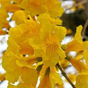 """2016届里约热内卢奥运会马上就要开幕了,""""绿手指""""预祝中国代表团🇨🇳取得好成绩!  里约热内卢是巴西联邦共和国的第二大城市,这里背山面水,港湾优良,人们热情。  黄色风铃木是巴西的市花,黄色风铃木是一种会随着四季变化而更换风貌的树,非常美丽!  (下图是黄色风铃木的特写)"""