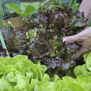 When Is Lettuce Ready to Pick From a Garden?