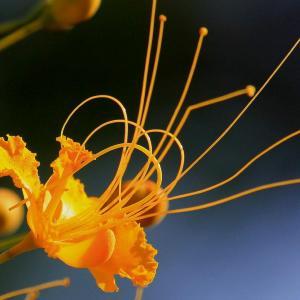 金凤花的繁殖方式和栽培技术