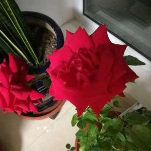 花谢了我该怎么剪花?我就剪掉了花不带叶子对吗?还有我的花为什么开完了就谢了,外业没有新的花苞呢?