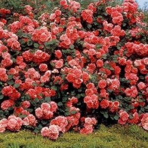 Multiplicación de rosas por esquejes o estacas