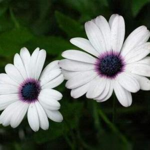 白蓝菊图片