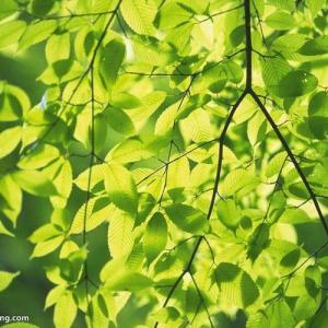Toxicidad de una planta y sus dosis medicinales, distribución del veneno, reacción y efectos sobre el organismo.