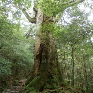 スギ(杉)の育て方・栽培方法