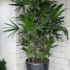 Fan Palm Houseplant: How To Grow Fan Palm Trees Indoors