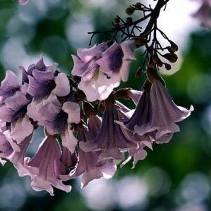 泡桐花的花语