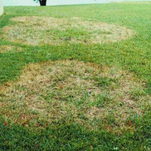 Large Brown Patch of Zoysia Lawns