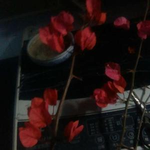 我家的三角梅这几天叶子都掉光了…只剩下花…这种情况需要施什么肥能够补充它长叶子以及下次开花的营养呢?前几天已经给它追肥了,豆饼牛粪骨粉草木灰都埋了一点…