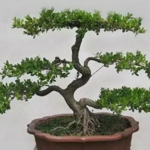 瓜子黄杨树盆景制作及养护方式