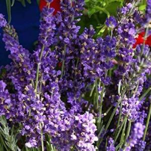 Lavender In The Garden: Information And Growing Lavender Tips