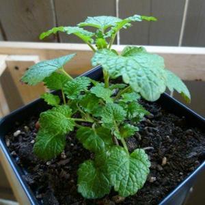 Invasive Mint – How To Kill Mint Plants