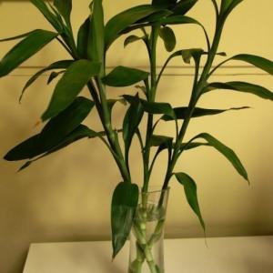 本文我们来说说水培富贵竹生根前注意事项,对于很多花友来说没生根就总不踏实,所以想了解一下养护过程的注意事项,其实并不是多复杂。   1.水培富贵竹的时候,富贵竹一定要处理好,枝条要新鲜,底部不能留太多叶子,枝条底端要用锋利的刀斜切45°。  2.花瓶内放干净的水,水位不要太高(比如第一张插土,水位有点高了,水位高,容易出现在枝条上面茎结部分生根,不是很美观,而且容易让杆子腐烂),大概有5-10公分就够了,不用装慢慢一花瓶。  3.然后将富贵竹摆好后,放置在欣赏的位置即可,平时水少了可以加水,但是切勿三天两头看看是否生根,晃动富贵竹。正常情况下富贵竹40天左右才生根,所以我们只需要耐心等待即可。   在富贵竹生根前,我们可能会发现富贵竹底部有叶子会发黄,这是正常的,可以先不用去管,等黄的厉害了掰掉就可以了。  另外,如果富贵竹超过一个月还没有生根,这个时候可以重新清洗枝条底部,然后重新斜切,用干净的水继续水培。