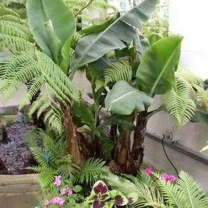 Árboles frutales: la platanera canaria