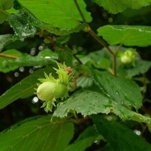 El avellano: cultivo y cuidados de un árbol apetitoso