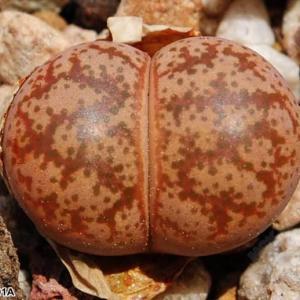 彩妍玉 C396 Lithops coleorum