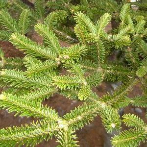 台湾杉(秃杉)图片