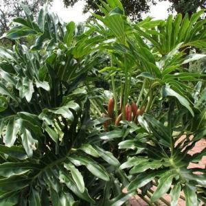 #喜林芋  属的基本介绍 喜林芋属(PhilodendronSchott) 植物全世界约有275种,广泛分布于热带美洲。作为室内绿化植物,欧、美各国早已进行了广泛的引种栽培和杂交育种工作,在亚洲,日本栽培较多。北京植物园自1973年开始收集喜林芋属植物。近年来随着观叶植物在我国的兴起,温室重点收集了 #天南星科  植物。至目前为止已保存该属原种9个,杂交种1个,栽培品种7个。 大家常说的 #绿钻  啦、 #金钻  啦、 #琴叶钻  啦等等的都是喜林芋属的植物。  常见的品种有这些:  金叶喜林芋   Philodendron andreanum  攀援植物。茎草绿色,圆柱形,粗壮,下部具白色条纹,节间长2厘米。鳞叶膜质,变红色,舟状抱茎。叶柄扭转,直立,腹面平坦,长50厘米以上,下部粗2厘米,渐细;叶片革质,鲜绿色,发亮,带金黄色;幼叶赭黄色,边缘透明,于扭曲叶柄的最上部突然反折,长60-80厘米,宽达25厘米,心状长圆形,前裂片狭长圆形,先端长渐尖,后裂片远短于前裂片,偏斜,钝,基部锐尖,I级侧脉白色,斜伸,近边缘时弧曲,3-4对基生,7-8对从中肋伸出。我国台湾栽培供观赏。原产哥伦比亚。  粗糙喜林芋  Philodendron asperatum  攀援植物。茎节间长10厘米,粗1-1.6厘米。叶柄半圆形,腹面下凹或具槽,大都向顶部密被小疣,长35-50厘米,上部粗5-6毫米;叶片暗绿色,心状卵形,长35-48厘米,宽20-30厘米,后裂片半卵形,为前裂片长的1/3-1/4,多少内倾,弯缺深,前裂片向上渐狭,通常先端具短尖头,I级侧脉粗壮,基生的4-7对,由中肋伸出的7-8对,其间、有II级侧脉1条。花序柄长4-6厘米,有不连续的白色条纹。佛焰苞长12-14厘米,管部和檐部分异明显,鲜绿色,背面红色,内面苍白带淡黄色;檐部长约3厘米,先端长锥状凸尖,背面红色,内面淡黄色。肉穗花序具短梗,圆柱形;雌花序长8-10厘米,与雄花序等粗。雌蕊圆柱形,长2毫米,粗1毫米,柱头盘状,白色,子房4-5室,胚珠2列。浆果有种子多数,长椭圆形,苍白黄色。我国台湾有栽培。原产巴西。  红苞喜林芋  Philodendron erubescens  攀援植物,分枝节间淡红色,长3-8厘米,粗1厘米。鳞叶肉质,红色,背面有2条龙骨状突起,长7-10厘米。叶柄腹面扁平,背面圆形,长15-25厘米,粗7-10毫米;叶片纸质,伸长的三角状箭形,长15-25厘米,宽12-18厘米,基部心形,前裂片三角形、半圆形或半卵形,后裂片三角形,I级侧脉4对基出,II级侧脉多数。花序柄长6-7厘米。佛焰苞外面深紫色,内面胭脂红色,兜状舟形,管部卵圆形,长7-8厘米;檐部短卵形,长7厘米,宽4-5厘米,具长约5毫米的尖头,肉穗花序具长约3毫米的梗,雌花序圆柱形,长5厘米,粗1.5厘米,雄花序长10厘米,向上略细。雌蕊倒卵圆形,8室,长约1.5毫米,柱头盘状。雄花通常有雄蕊3。花期11-1月。广州栽培。原产哥伦比亚。为美丽的观赏植物。  心叶喜林芋  Philodendron gloriosum  攀援植物。茎悬垂,节间绿色,长4-6厘米,粗1.5-2厘米。鳞叶紫红色,无龙骨,长10-15厘米,长期宿存。叶柄下部绿色,上部和叶片中肋及I级侧脉红色,饰以纵长的白色条纹,半圆柱形,长20-30厘米,粗6-8毫米;叶片薄纸质,表面暗绿色,边缘红色,背面苍白色,心状卵形,长15-25厘米,宽12-20厘米,后裂片近半圆形,长3-5厘米,宽6-9厘米,弯缺锐尖,前裂片先端为弯拱的线形,狭渐尖,长为后裂片3.5-4倍,I级侧脉:基生的3-4对,从中肋两侧生的3-4对,II级侧脉斜伸,细弱。我国台湾栽培于园庭供观赏。原产哥伦比亚。  箭叶喜林芋  Philodendron sagittifolium   喜林芋属植物(3张)大型攀援植物,节间长3-5至10厘米,粗2.5-3厘米。鳞叶长线状披针形,具两条龙骨状突起。叶柄长30-40厘米,基部粗1.5厘米,背面圆形,两侧具宽鞘;叶片近革质,长圆状箭形,长30-50厘米,宽12-20厘米,后裂片半长圆形,裂弯深,长7-10厘米,宽与长近相等,前裂片长圆状三角形,向上渐狭,中肋粗,I级侧脉4对,斜伸,基出脉2-3对。花序柄长5-8厘米。佛焰苞管部外面绿色或边缘浅白色,内面紫红色,长圆形,长4-6厘米;檐部白色,先端具短尖突,长5-6厘米。肉穗花序无柄,雌花序浅黄色,圆柱形,长2.4-2.8厘米,粗1厘米,雄花序白色,长7-8厘米。子房长圆形,长2毫米,粗1毫米,5-7室。雄花有雄蕊3-4。浆果污黄色,倒卵圆形,长3.5毫米;种子黄色,椭圆形,长约1毫米。广州栽培。原产墨西哥。为热带地区常见的栽培观赏植物。  三裂喜林芋  Philoden