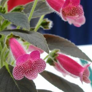 Kohleria amabilis – Tree Gloxinia