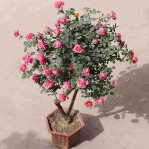 盆栽月季施肥花友总结及施肥月历表