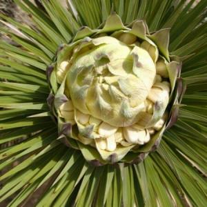 Solicito apoyo para identificar esta planta. ¿Cuál es su nombre científico y común?gracias.