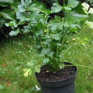 5 consejos para no olvidar al cultivar apio
