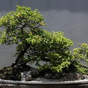 雀梅盆景养护七要点及制作方法