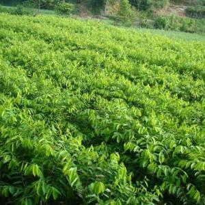 乌榄(黑橄榄)图片