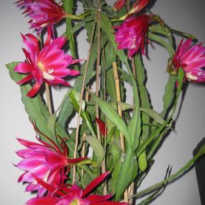 绿手指温馨提示:  夏季休眠的花卉不仅仅只是肉肉们哦,还有一大部份的家养花卉也会处于休眠或半休眠状态呢!  比如仙客来、倒挂金钟、大岩桐、马蹄莲、天竺葵、令箭荷花等,在高温季节处于休眠或半休眠状态,这时新陈代谢缓慢,生长停滞。针对这些花卉的生长特性,要精心护理,以便它们顺利度过休眠期。把这些花卉放到阴凉、通风的地方,避免强光照射和雨水淋浇,否则因为土壤潮湿很容易烂根,甚至导致整株枯死。另外还要控制浇水,否则盆土太湿,也容易烂根;当然,也不要浇水过少,否则根部会萎缩,保持盆土稍湿润就可以。对于这些处在休眠期的花卉,不需要肥料,不然也会容易引起烂根,甚至导致整株死亡。
