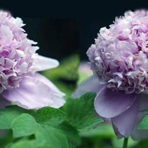15 GORGEOUS Purple Houseplants
