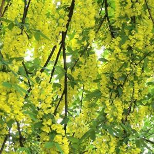 Laburnum alpinum – Scotch Laburnum