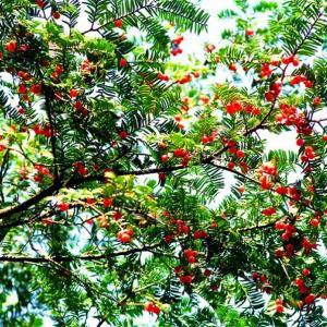 红豆杉的繁殖方法