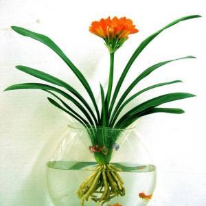 """#君子兰  原产于非洲南部,生树下面,所以它既怕炎热又不耐寒,喜欢半阴而湿润的环境,畏强烈的直射阳光,生长的最佳温度在18--22℃之间,5℃以下,30℃以上,生长受抑制。君子兰喜欢通风的环境,水培君子兰适宜室内培养。  君子兰也可进行水培,其方法如下:  容器选择  对君子兰进行水培,首先要选择好容器。一般来说,以透明的玻璃容器为好,如果养一株幼苗,只需要一个玻璃罐头瓶就行了。如果要大量水栽,可用细铁丝编制一个孔径为一厘米的金属网,在制作一个比金属网稍小的玻璃水培箱;或用金鱼缸代替也可以。然后将金属网盖在水培箱上,将君子兰苗通过网眼分别插入营养液中,花根在培养液中的深度已不超过根部的假鳞茎为限。   营养液配制  营养液分无机和有机两种。无机营养液可按如下比例配制:钙1. 5克、硫酸亚铁O. 01克、尿素克、磷酸二氢钾1克、硫酸镁0.5克,以上5钟无机盐配齐后,溶于1000克水中即可使用。有机养液按如下方法配制:炒熟麻籽面100克、骨粉(无盐鲜骨制成)100克、豆饼粉150克、熟芝麻粉50克,然后溶于1000克水中。以上两种营养液比较起来,有机肥成分丰富,但营养含量不高,无机肥成分相对单一,但肥效大,见效快。为取长补短,二者可结合使用。若单用,无机肥每周施放一次,有机肥5天施放一次。  用水  水培君子兰,不能直接取用自来水,必须用""""困""""过的水,所谓""""困""""水,就是把自来水放在容器中,在阳光下晒上3—5天,使对君子兰根部有害的漂白粉等氯化物沉淀。""""困""""过的水,从外表上看,沉淀物由条状变成团状,水的颜色以绿为佳。""""困""""好水后,淹没根部位置一定不能淹没假鳞茎。水位过浅不能使君子兰得到充分的水分供应,水位过深(淹没了假鳞茎)又会造成根部溃烂。在养殖程中,要注意多观察水质的变化,发现根部有些发黄或变黑,说明水中既缺氧又少肥,必须立即换水。  空气、阳光、温度  能否处理好水培兰根部的通气,是水培成败的关键。水培兰经过一段时间的养殖,根部便生出一层青苔,青苔过厚时会严重影响根的呼吸,并腐蚀培养液。这时,需要用柔软干净的毛刷轻轻刷去部的青苔层(不必刷得很干净,因根部有少量青苔影响不大)。此外,还要时常检查水中的氧气是否够用。检查的方法是:向水培箱中放进两三条小鱼,如果小鱼在水中自由自在的游来游去,说明水中不缺氧,如果小鱼总是浮上水面,嘴和腮露出水面呼吸,说明水中缺氧。  发现水中缺氧后,必须补氧,方法有两种,一是换水,二是用小氧泵向水中供氧。在阳光的处理上,君子兰是半阴办阳植物,要注意光照,特别是夏季,要避开直射的强烈阳光,使之接受散射光照。此外,根据君子兰叶片的向光特性,要注意使叶片受光均匀,否则叶片长度不一,生长方向也会前后错落,一般每隔两三天就要调整一次光照角度.在温度处理上,成龄君子兰的环境温度以11℃-25℃为好,小苗可稍高些,20℃-35℃就可以。水中养兰要掌握昼夜温差,冬季白天保持20℃左右,夜间不低于15℃为好。"""