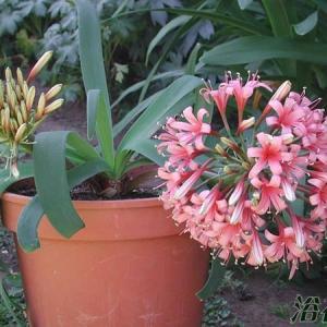 大地百合(Ammocharis coranica)
