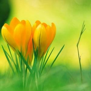 Yellow crocus—Mito enjoy