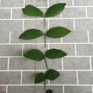 按照花神前辈的指点,今天给茂盛的茉莉花进行了扦插!期待也和前辈的一样长出根须⋯⋯