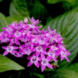 繁星花的繁殖与养护