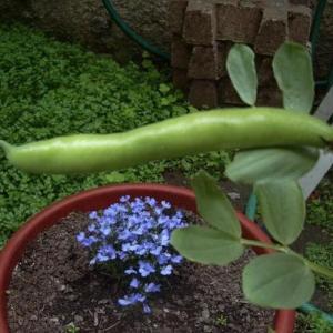 Cultivar habas en el jardín o en jardinera