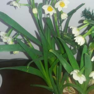 忽如一夜春风来,水仙争奇斗艳开!😄