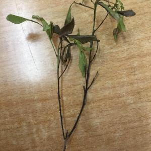 米兰的新芽和杆子都黑了是怎么回事?
