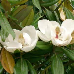 Magnolia grandiflora – Southern Magnolia