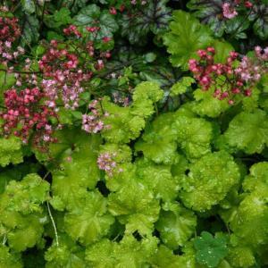 红花矾根图片