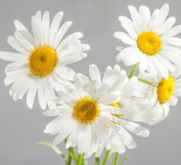 白色雏菊图片