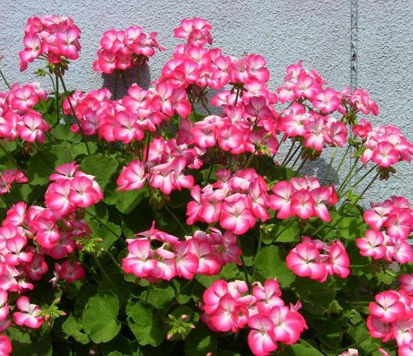 How to Grow Geranium Indoors Year Round