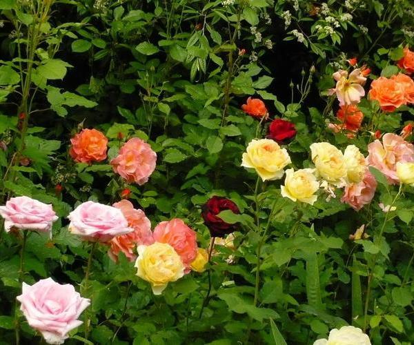 Reproducción del rosal por semillas