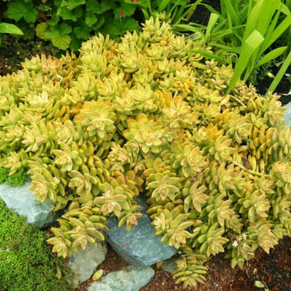 Sedum adolphii – Golden Sedum
