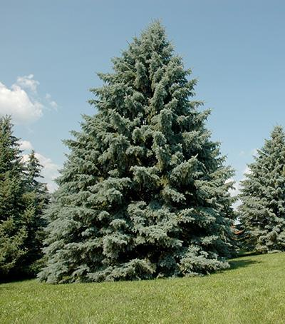 White Spruce Information: Learn About White Spruce Tree Uses And Care