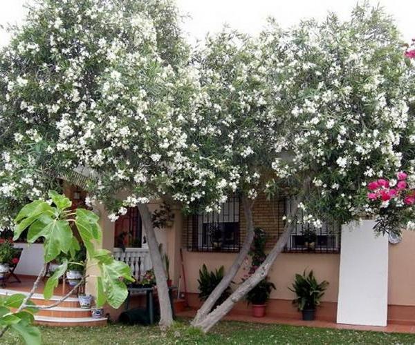 La adelfa: un árbol cotidiano muy venenoso