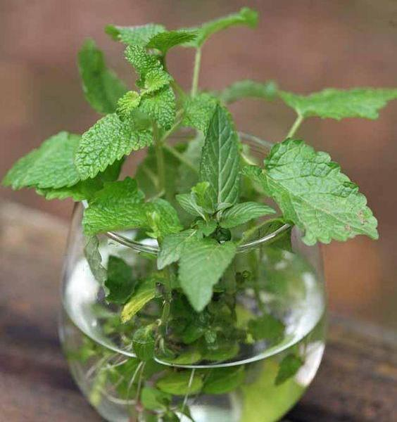 Growing Tea At Home – Learn About Tea Plant Container Care