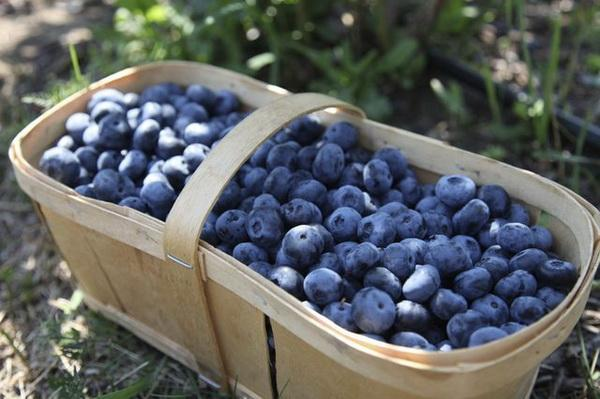 How to Grow Blueberry Plants From Seed