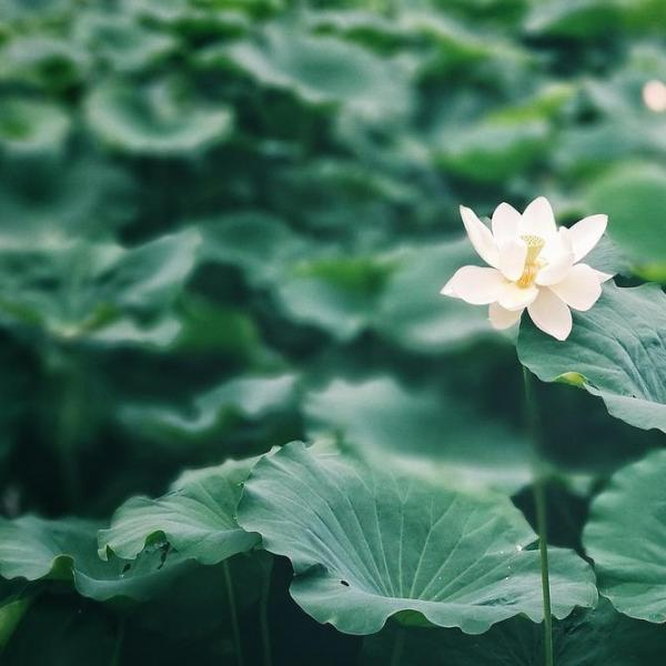How to Grow Lotus Flower
